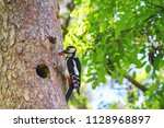 the great spotted woodpecker ... | Shutterstock . vector #1128968897
