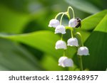 lily of the valley  convallaria ... | Shutterstock . vector #1128968957