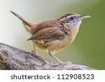 Carolina Wren Closeup