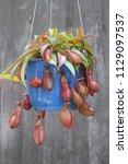 beautiful pitcher carnivorous...   Shutterstock . vector #1129097537
