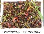 beautiful pitcher carnivorous...   Shutterstock . vector #1129097567