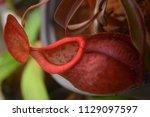 beautiful pitcher carnivorous...   Shutterstock . vector #1129097597