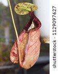 beautiful pitcher carnivorous...   Shutterstock . vector #1129097627