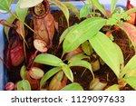 beautiful pitcher carnivorous...   Shutterstock . vector #1129097633
