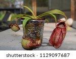 beautiful pitcher carnivorous...   Shutterstock . vector #1129097687