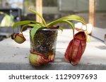 beautiful pitcher carnivorous...   Shutterstock . vector #1129097693