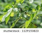 sparrow on tree at park | Shutterstock . vector #1129153823