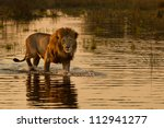 Morning Walk Of A Male Lion