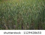 reed. cylindrical flower spikes ... | Shutterstock . vector #1129428653