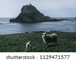 one mother sheep and one lamb... | Shutterstock . vector #1129471577