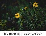 dark green moody bushes on a... | Shutterstock . vector #1129675997