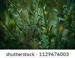 dark green moody bushes on a... | Shutterstock . vector #1129676003
