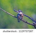 banded kingfisher on limb | Shutterstock . vector #1129737287