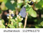 holly blue sucking nectar from... | Shutterstock . vector #1129961273