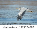 the grey heron  ardea cinerea ...   Shutterstock . vector #1129964207