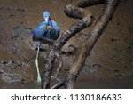 close up  little blue heron ... | Shutterstock . vector #1130186633