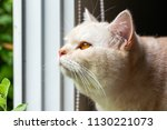 yellow cat at the window | Shutterstock . vector #1130221073