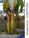 tropical pitcher carnivorous...   Shutterstock . vector #1130277143