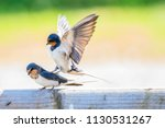 swallow  hirundo rustica in... | Shutterstock . vector #1130531267