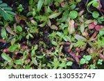 tropical pitcher carnivorous...   Shutterstock . vector #1130552747