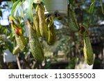 tropical pitcher carnivorous...   Shutterstock . vector #1130555003