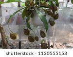tropical pitcher carnivorous...   Shutterstock . vector #1130555153