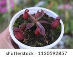 red tropical pitcher...   Shutterstock . vector #1130592857
