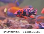 the colorful of ob peacock.... | Shutterstock . vector #1130606183
