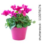 Pink cyclamen in a flower pot  isolated on a white background - stock photo