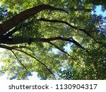 large maple tree limbs | Shutterstock . vector #1130904317