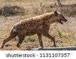 spotted hyena looking for a prey | Shutterstock . vector #1131107357