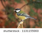 garden bird great tit  songbird ... | Shutterstock . vector #1131155003