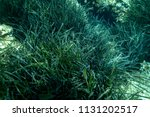sea grass at the bottom of the... | Shutterstock . vector #1131202517