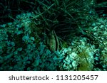 giant clam at the bottom of the ... | Shutterstock . vector #1131205457