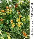 cherry tomato tomatoes on a...   Shutterstock . vector #1131369953