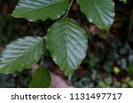 beech leaf in forest | Shutterstock . vector #1131497717