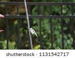 chickadee titmouse songbird... | Shutterstock . vector #1131542717