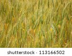 An abstract image of field of wheat and barley - stock photo