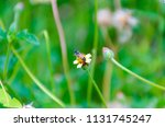 bumble bee looking for nectar... | Shutterstock . vector #1131745247