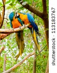 Colorful couple macaws kissing - stock photo