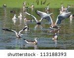 juvenile plumage black headed... | Shutterstock . vector #113188393