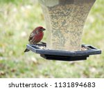 a lone male house finch enjoys...   Shutterstock . vector #1131894683