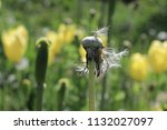 dandelion  a plant with yellow... | Shutterstock . vector #1132027097