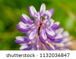 purple flower lupine macro ... | Shutterstock . vector #1132036847