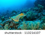 Bluespotted Ribbontail Ray ...