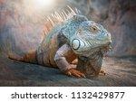 Lizard Iguana. Animals.