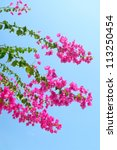 Pink blooming Bougainvilleas with blue sky as background - stock photo