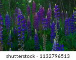 lupinus  commonly known as... | Shutterstock . vector #1132796513