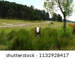 front view of a cow in between... | Shutterstock . vector #1132928417