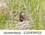 songbird among reeds | Shutterstock . vector #1132939523
